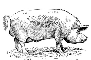 PIG SLAUGHTER LINE